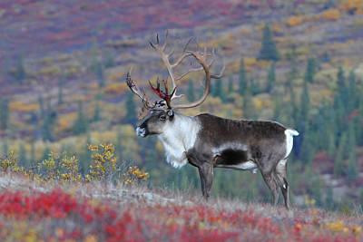 Photograph - Classic Caribou by Alan Lenk