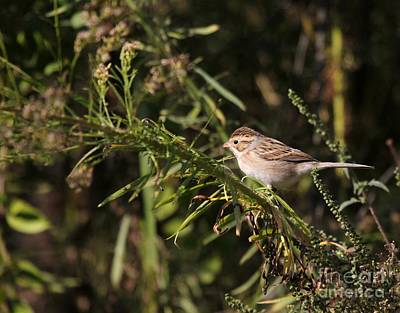 Photograph - Clay-colored Sparrow by Jack R Brock