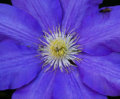 Photograph - Clematis And Friend by Michael Friedman