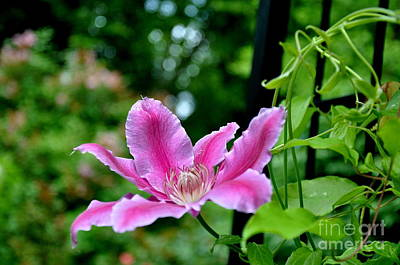 Art Print featuring the photograph Clematis Bloom by Tanya  Searcy
