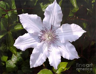 Photograph - Clematis Claire De Lune by Rod Ismay