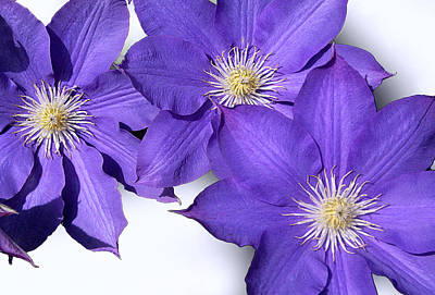Photograph - Clematis Flowers by Emanuel Tanjala