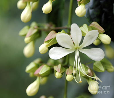 Photograph - Clerodendrum / Bridal Veil by Nancy Greenland