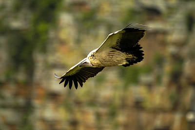 Photograph - Cliff Flight by Alistair Lyne