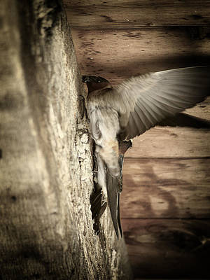 Photograph - Cliff Swallows 2 by Scott Hovind