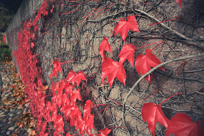 Vine Leaves Photograph - Clinging by Laurie Search