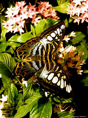 Ebsq Digital Wall Art - Photograph - Clipper Butterfly 2 by Kimmary MacLean