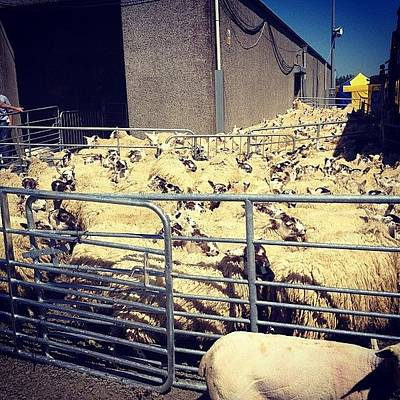Sheep Photograph - Clipping Time by Noel Gormley