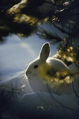 Snowshoe Hare Photograph - Close Backlit Portrait Of A Little by Michael S. Quinton
