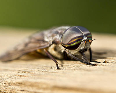 Photograph - Close Encounter With A Horsefly by Dean Bennett