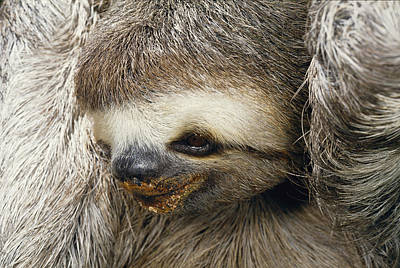 Close Portrait Of A Three Toed Sloth Art Print