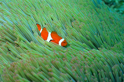Clown Fish Photograph - Close Up Of A Clown Anemone Fish, Okinawa, Japan by Mixa