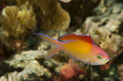 Kosrae Island Photograph - Close-up Of A Colorful Fish Next by Tim Laman
