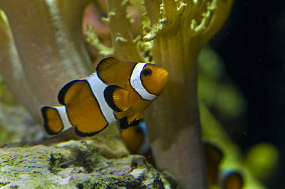 Amphiprion Ocellaris Photograph - Close-up Of A False Clownfish by Todd Gipstein