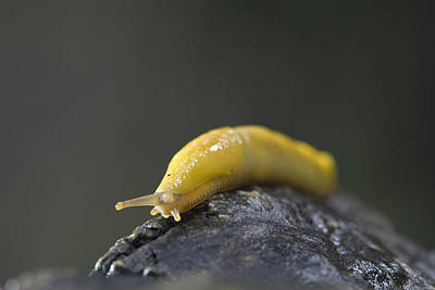 Photograph - Close-up Of A Pacific Banana Slug by Rich Reid