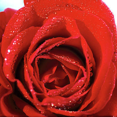 Single Object Photograph - Close-up Of A Red Rose by Stockbyte