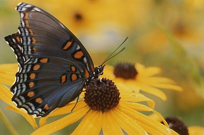 Red And Black Butterfly Photograph - Close-up Of A Red-spotted Purple by Brian Gordon Green