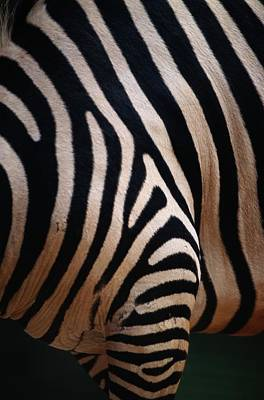Close Up Of A Zebras Stripes Art Print by Nick Caloyianis