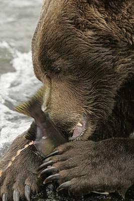 Close-up Of An Alaskan Brown Bear Art Print by Roy Toft