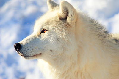 Arctic Wolf Photograph - Close Up Of Arctic Wolf by David R. Tyner