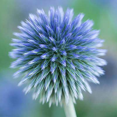 Thistle Photograph - Close Up Of Blue Globe Thistle by Kim Haddon Photography
