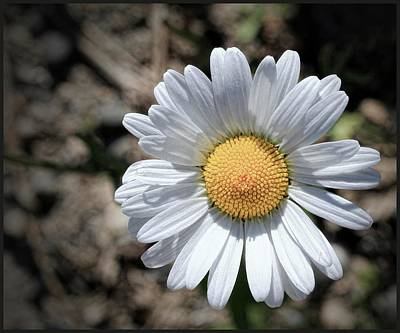 White Flower Photograph - Close Up Of Daisy by Sanders Photography