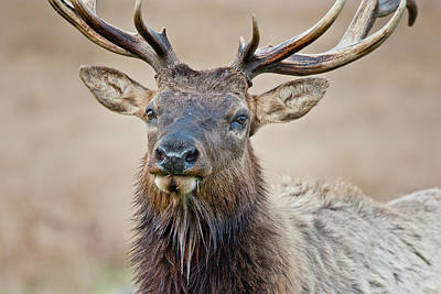 Photograph - Close-up Of Elk by Greg Nyquist
