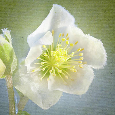 Hellebore Photograph - Close Up Of Hellebore by Peter Chadwick LRPS