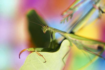 Close-up Of Praying Mantis Art Print by Natural Selection Craig Tuttle
