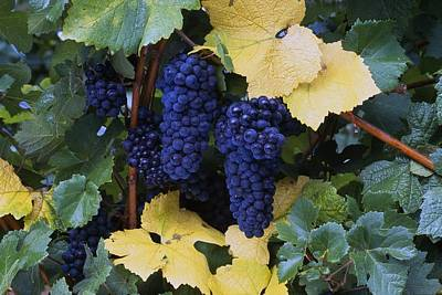 Close-up Of Ripe, Wine Grapes And Leaves Art Print by Natural Selection Craig Tuttle