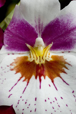 Close-up Of The Center Of An Orchid Art Print by Todd Gipstein