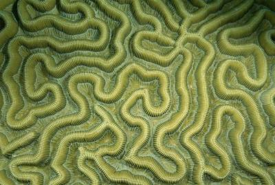 Close-up Of The Exterior Of Brain Coral Art Print by Wolcott Henry