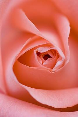 Pasta Al Dente Royalty Free Images - Close Up Of The Inside Of A Pink Rose Royalty-Free Image by Don Hammond