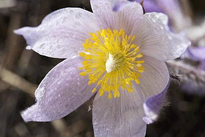 Close Up Of The Inside Of A Prairie Crocus With Water Droplets Art Print