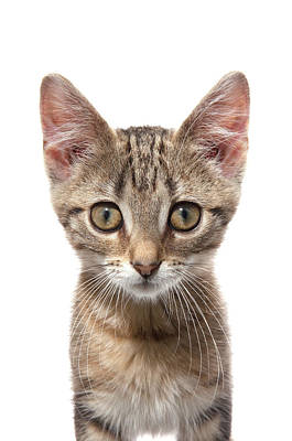 Pet Care Photograph - Close Up Protrait Of A Kitten by Diane Collins and Jordan Hollender