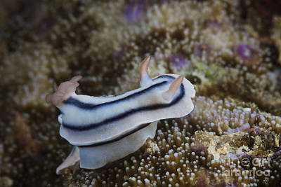 Photograph - Close-up View Of A Nudibranch Feeding by Terry Moore