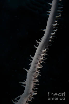 Tendrils Photograph - Close-up View Of A Whip Coral by Terry Moore