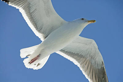 Close View Of A Flying Seagull Art Print by Stephen Sharnoff