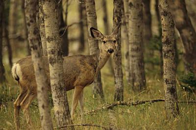 Close View Of A Mule Deer In An Alberta Art Print