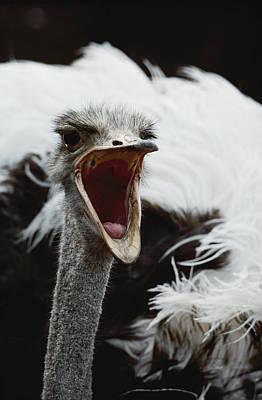 Ostrich Photograph - Close View Of A Screaming Ostrich Head by Kenneth Garrett