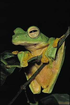 Rhacophorus Photograph - Close View Of A Wallaces Flying Frog by Tim Laman