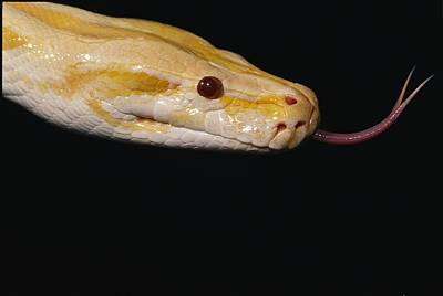 Burmese Python Photograph - Close View Of An Albino Burmese Python by Darlyne A. Murawski
