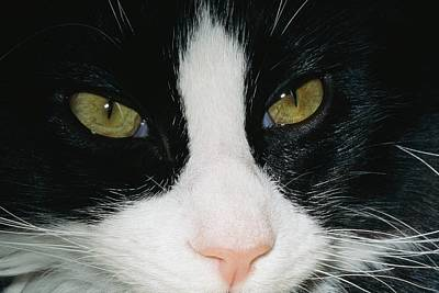 Germantown Photograph - Close View Of Black And White Tabby Cat by Brian Gordon Green