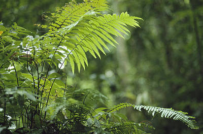 Close View Of Ferns In A Papua New Art Print