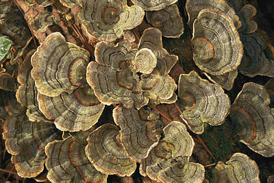 Concord Photograph - Close View Of Turkey-tail Fungi by Darlyne A. Murawski