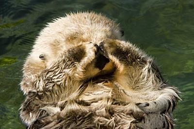 Closeup Of A Captive Sea Otter Covering Art Print by Tim Laman