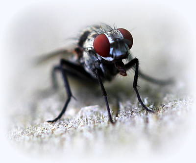 Photograph - Closeup Of A Fly  by Maureen  McDonald