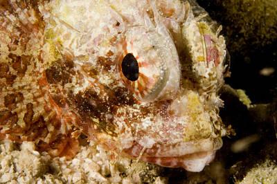 Malapascua Island Photograph - Closeup Of A Small, Probably Juvenile by Tim Laman