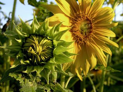 Closeup Of A Sunflower Bud Art Print