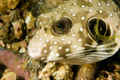 Closeup Of A White Spotted Puffer Fish Art Print by Tim Laman